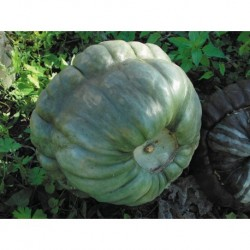 COURGE QUEENSLAND BLUE GRAINES